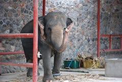 Ελέφαντας που κυματίζει με τον κορμό Στοκ εικόνα με δικαίωμα ελεύθερης χρήσης