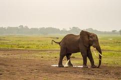 Ελέφαντας που ουρεί στο πάρκο Amboseli Στοκ Εικόνες