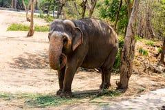 Ελέφαντας που στέκεται κάτω από ένα δέντρο & που τρώει τη χλόη με κλειδωμένος στο toe από το σχοινί αλυσίδων στο ζωολογικό κήπο Στοκ Εικόνες