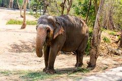 Ελέφαντας που στέκεται κάτω από ένα δέντρο & που τρώει τη χλόη με κλειδωμένος στο toe από το σχοινί αλυσίδων στο ζωολογικό κήπο Στοκ εικόνα με δικαίωμα ελεύθερης χρήσης