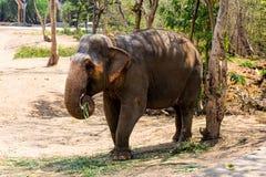 Ελέφαντας που στέκεται κάτω από ένα δέντρο & που τρώει τη χλόη με κλειδωμένος στο toe από το σχοινί αλυσίδων στο ζωολογικό κήπο Στοκ Εικόνα