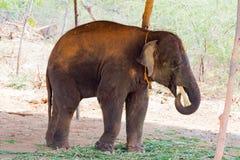 Ελέφαντας που στέκεται κάτω από ένα δέντρο & που τρώει τη χλόη με κλειδωμένος στο toe από το σχοινί αλυσίδων στο ζωολογικό κήπο Στοκ φωτογραφία με δικαίωμα ελεύθερης χρήσης