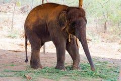 Ελέφαντας που στέκεται κάτω από ένα δέντρο & που τρώει τη χλόη με κλειδωμένος στο toe από το σχοινί αλυσίδων στο ζωολογικό κήπο Στοκ Φωτογραφία