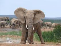 Ελέφαντας που στέκεται στην τοποθέτηση προσοχής στοκ φωτογραφίες