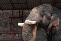 Ελέφαντας που τρώει με τον κορμό Στοκ φωτογραφία με δικαίωμα ελεύθερης χρήσης