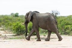 Ελέφαντας σε μια βιασύνη! στοκ φωτογραφία με δικαίωμα ελεύθερης χρήσης