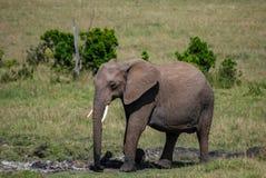 Ελέφαντας στην εθνική επιφύλαξη Κένυα Αφρική Maasai Mara στοκ εικόνα με δικαίωμα ελεύθερης χρήσης