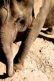 Ελέφαντας στην Ταϊλάνδη Στοκ Φωτογραφίες