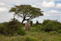 Ελέφαντας στη σαβάνα κάτω από το δέντρο στοκ φωτογραφίες με δικαίωμα ελεύθερης χρήσης