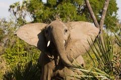 Ελέφαντας στο εθνικό πάρκο Ruaha, Τανζανία Στοκ Εικόνες