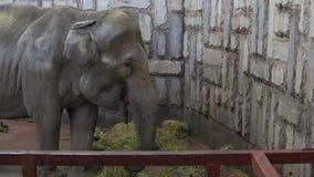 Ελέφαντας στο ζωολογικό κήπο απόθεμα βίντεο