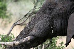 Ελέφαντας. Τανζανία, Αφρική Στοκ Εικόνα
