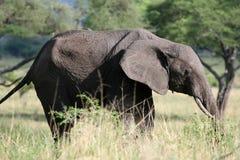 Ελέφαντας. Τανζανία, Αφρική Στοκ φωτογραφία με δικαίωμα ελεύθερης χρήσης
