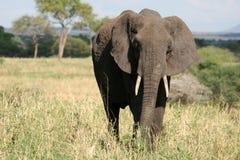 Ελέφαντας. Τανζανία, Αφρική Στοκ Φωτογραφία