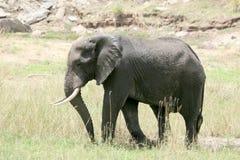 Ελέφαντας. Τανζανία, Αφρική Στοκ Φωτογραφίες
