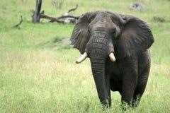 Ελέφαντας. Τανζανία, Αφρική Στοκ φωτογραφίες με δικαίωμα ελεύθερης χρήσης