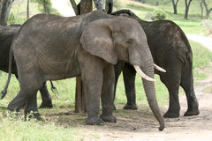 Ελέφαντας. Τανζανία, Αφρική Στοκ εικόνα με δικαίωμα ελεύθερης χρήσης
