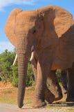 ελέφαντας ταύρων Στοκ Εικόνες