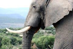 ελέφαντας ταύρων potrait Στοκ φωτογραφία με δικαίωμα ελεύθερης χρήσης