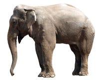 ελέφαντας Στοκ εικόνες με δικαίωμα ελεύθερης χρήσης