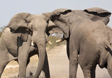 Ελέφαντας (africana Loxodonta) - Ναμίμπια Στοκ φωτογραφία με δικαίωμα ελεύθερης χρήσης