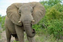 ελέφαντας kruger Στοκ φωτογραφίες με δικαίωμα ελεύθερης χρήσης
