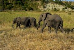 Ελέφαντες δέντρων που περπατούν μέσω της χλόης στοκ εικόνα