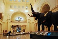 Ελέφαντες μουσείων τομέων στοκ φωτογραφία με δικαίωμα ελεύθερης χρήσης