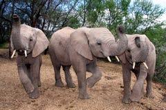 ελέφαντες μωρών Στοκ Φωτογραφίες