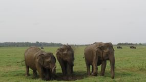 3 ελέφαντες που απολαμβάνουν ένα λουτρό λάσπης από κοινού στοκ εικόνες με δικαίωμα ελεύθερης χρήσης