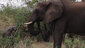 Ελέφαντες που βόσκουν στην αφρικανική αγριότητα απόθεμα βίντεο