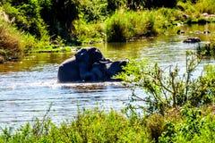 Ελέφαντες που ζευγαρώνουν στο GA-Selati ποταμό, ένας παραπόταμος του ποταμού Olifants στο εθνικό πάρκο Kruger στοκ εικόνες