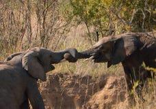 Ελέφαντες που παίζουν το ρυμουλκό με τους κορμούς τους στοκ φωτογραφίες με δικαίωμα ελεύθερης χρήσης