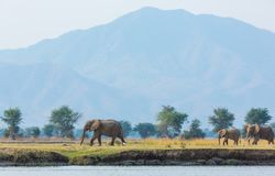 Ελέφαντες που περπατούν με το βουνό πίσω στοκ εικόνα με δικαίωμα ελεύθερης χρήσης
