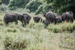 Ελέφαντες σε ένα εθνικό πάρκο από τη Σρι Λάνκα στοκ φωτογραφία