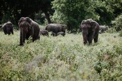 Ελέφαντες σε ένα εθνικό πάρκο από τη Σρι Λάνκα στοκ εικόνες με δικαίωμα ελεύθερης χρήσης