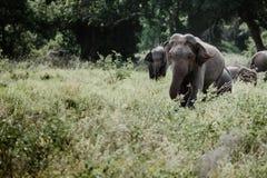 Ελέφαντες σε ένα εθνικό πάρκο από τη Σρι Λάνκα στοκ φωτογραφίες