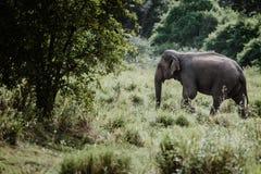 Ελέφαντες σε ένα εθνικό πάρκο από τη Σρι Λάνκα στοκ εικόνες