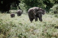 Ελέφαντες σε ένα εθνικό πάρκο από τη Σρι Λάνκα στοκ εικόνα με δικαίωμα ελεύθερης χρήσης