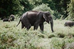 Ελέφαντες σε ένα εθνικό πάρκο από τη Σρι Λάνκα στοκ φωτογραφία με δικαίωμα ελεύθερης χρήσης