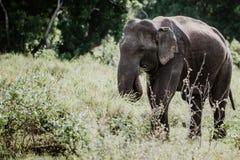 Ελέφαντες σε ένα εθνικό πάρκο από τη Σρι Λάνκα στοκ φωτογραφίες με δικαίωμα ελεύθερης χρήσης
