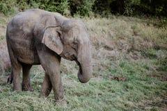Ελέφαντες σε ένα εθνικό πάρκο από τη Σρι Λάνκα στοκ εικόνα