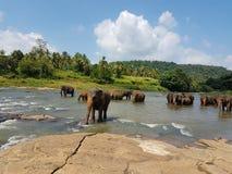 Ελέφαντες στον ποταμό στη Σρι Λάνκα Στοκ Εικόνες