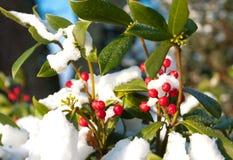 ελαιόπρινος θάμνων aquifolium ilex Στοκ εικόνες με δικαίωμα ελεύθερης χρήσης