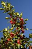 ελαιόπρινος μούρων aquifolium ilex Στοκ φωτογραφία με δικαίωμα ελεύθερης χρήσης