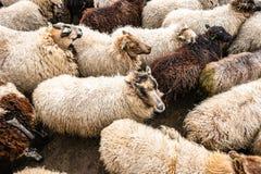 Ελαφριά και σκοτεινά χρωματισμένα πρόβατα μαζί σε ένα sheepfold στοκ εικόνες