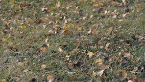 Ελαφριά πεσμένα περιστροφές φύλλα αερακιού πέρα από την πράσινη χλόη απόθεμα βίντεο