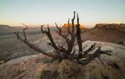Ελαφριά χρώματα ξημερωμάτων η τοπ δυτική άκρη του ριβησίου Mesa στη νότια Γιούτα που πλαισιώνεται από τους κλάδους ενός νεκρού δέ Στοκ Φωτογραφία