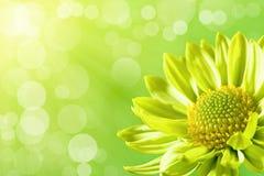 ελαφρύς ήλιος λουλουδιών μαργαριτών κάτω Στοκ φωτογραφία με δικαίωμα ελεύθερης χρήσης