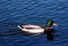 ελαφρύς πρασινολαίμης απογεύματος αργά Στοκ Εικόνες